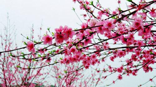 桃花岛地处赣江中,美丽而神秘,是吉水县八大自然景观之一,有著得天独